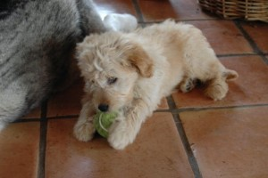 Jaspar as a puppy